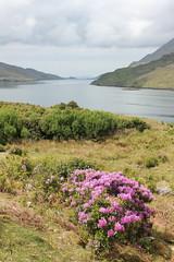 IMG_3274 (avsfan1321) Tags: ireland killaryfjord countygalway countymayo connemara wildatlanticway fjord lake water landscape flowers mountains