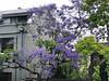 2017 Sydney: Jacaranda Tree (dominotic) Tags: 2017 innersydney camperdown jacarandatree purple iphone8 urban sydney australia