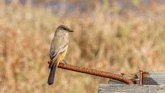 Say's Phoebe (Bob Gunderson) Tags: birds california empidonaxflycatchers flycatchers northerncalifornia pier94saltmarsh sanfrancisco saysphoebe sayornissaya