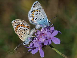 Pair Silver-studded Blues - Plebejus argus - France