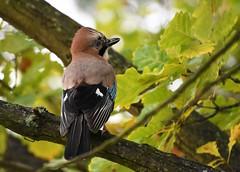 Autumn Atelier (petrk747) Tags: natureofautumn nature naturebynikon jay jays bird fauna oak tree forest ngc