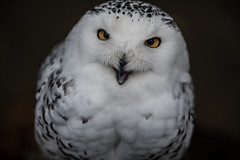 Great white owl (sumo4fun) Tags: wernigerode schnee eule christianental owl arctic germany