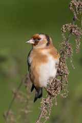 goldfinch (colin 1957) Tags: goldfinch burwell finches