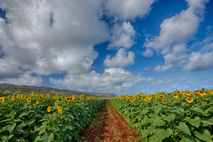 North Shore Sunflowers, Oahu (wileyimages.com) Tags: sunflowers north shore oahu hawaii flowers path