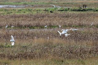 Egrets Galore