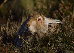 Mountain Hare (moniquedoon) Tags: hare mountainhare sunny heather closeup animalportrait dovestone wildlife wildlifephotography changingcolours nikon natureisbeautiful autumn winter fur mammal nature autumnwatch hill hillside moorland moorside peakdistrict hares nikkor
