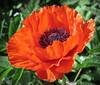 Poppy (PeterCH51) Tags: poppy red flower macro makro england garden greatdixter greatdixtergardens peterch51 mohn mohnblume papaver closeup