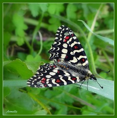 Natural beauty (Armelle85) Tags: extérieur nature animal insecte papillon couleur macro