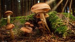 Mushrooms - 4154 (YᗩSᗰIᘉᗴ HᗴᘉS +10 000 000 thx❀) Tags: macro mushroom fungus champignon forêt forest bois wood belgium be aa bel courrière nature green vert 7dwf hensyasmine yasminehens greatphotographers