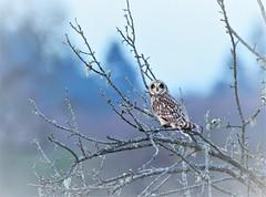 Short-eared Owl (CindyFullwiler Nature Photography) Tags: short eared owl sequim washington owls birds prey 3 crabs flight nikon d7100 bird eyes raptors