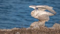Snowy Owl (Bubo scandiacus) (ER Post) Tags: bird owl snowyowlbuboscandiacus ravenna michigan unitedstates us