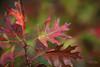 It's still 80 degrees (Andrea Garza ~) Tags: redoak leaves leaf fall autumn bokeh texas texashillcountry i♥myfamily tx newbraunfels tree oak oaks