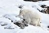 Mountain Goat DSC_2560 (Ron Kube Photography) Tags: mountaingoat mammal animal jasper nikon nikond500 d500 ronaldok fauna nature ronkubephotography