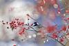 L'hiver est bien là! (Nicole Barge) Tags: mésangeàtêtenoire poecile oiseau bird ornithologie orniyhology houxverticillé ilexverticillata québec canada 2017 bokeh cerclesdeconfusion poecileatricapilla