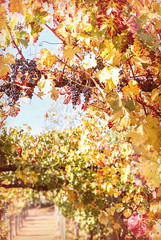 Temecula Wine Country 12.2.17_ 1 (Marcie Gonzalez) Tags: 2017 fall autumn valley temecula southern california inland empire grape grapes green red orange yellow golden grow growing plant plants leaves leaf hang hanging vine vines winery wineries vineyard vineyards wine wines country botanical nature soft usa us north america united states marcie gonzalez marciegonzalez marciegonzalezphotography photography canon eat sweet delicious temeculagrapes corp