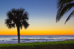 sunset over hedge (otgpics) Tags: palm tree silhouette sunset orange sky gulf coast longboat key florida blue dark dusk tropical landscape schefflera arboricola
