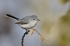 Blue-gray Gnatcatcher (Greg Lavaty Photography) Tags: bluegraygnatcatcher polioptilacaerulea texas november chamberscounty birdphotography outdoors bird nature wildlife