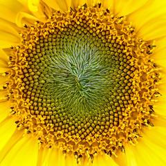 20171208_1038_7D2-100 Developing Sunflower #2 (342/365)
