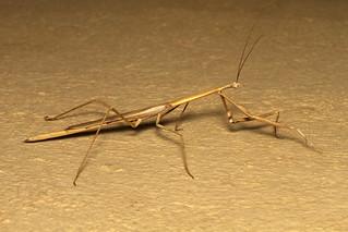 Hoplocoryphella grandis ♀ (Praying Mantis) - South Africa