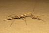 Hoplocoryphella grandis ♀ (Praying Mantis) - South Africa (Nick Dean1) Tags: prayingmantis mantodea mantis animalia arthropoda arthropod hexapoda hexapod insect insecta krugernationalpark southafrica satara