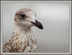 Silbermöwe Portrait (Sakerfalke) Tags: sakerfalkefotografie silbermöwe portrait bird möwe outdoor ostsee