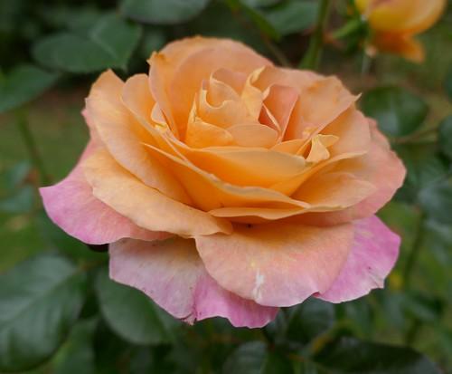 Au jardin, rose d'automne, Bosdarros, Béarn, Pyrénées Atlantiques, Aquitaine, France.