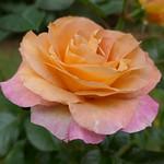 Au jardin, rose d'automne, Bosdarros, Béarn, Pyrénées Atlantiques, Aquitaine, France. thumbnail