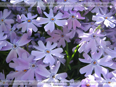 Inspirational Intrigue (ficktionphotography) Tags: creepingphlox phlox flowers purple nature tinyflowers