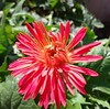 Good morning. (SHAN 1973) Tags: daisy africandaisy gerbera xiaomi 2017 garden red mixedcoloursofflower nice flower