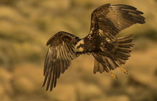 Marsh Harrier - The lady is a killer