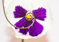 Pansy reflections (abiward) Tags: macro macrophotography closeup pansy pansies flower purple droplet waterdroplets droplets reflection nikon nikond600 curls refraction