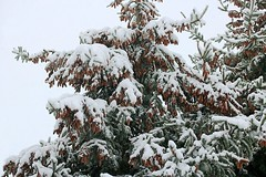 2017 Snow On Spruce Tree Branches 025 (Chrisser) Tags: weather snow nature ontario canada canoneosrebelt6i canonefs60mmf28macrousmprimelens lens00025 digital