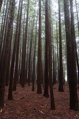 Whakarewarewa redwood forest (Bex.Walton) Tags: travel newzealand rotorua northisland whakarewarewa redwood forest redwoods