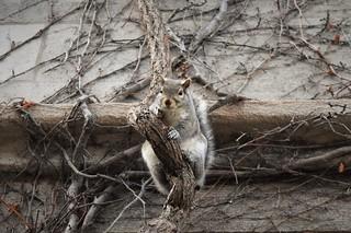 Steady-eyed squirrel