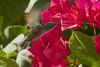 Antillean Crested Hummingbird (female) (ronmcmanus1) Tags: jollyharbour stmarysparish antiguabarbuda bird outdoors wildlife nature