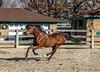 IMG_7225 (Tyler Ochs Photography) Tags: horses horse halter gallop bay mare galloping arena turnout pasture sand