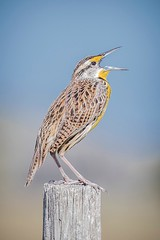 Eastern Meadowlark (c) 2017 Paul Thomas all rights reserved. 21 March 2017 along Canoe Creek Road, near Kenansville in Osceola County, Florida