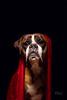 47/52 red blanket (Kerstin Mielke) Tags: kurt boxerdog 52weeksfordogs red blanket tribute challenge