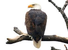 bald eagle at Pool Slough IA 854A6658 (lreis_naturalist) Tags: bald eagle pool sough allamakee county iowa larry reis