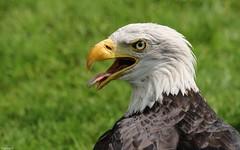 Portrait Eagle - 4099 (YᗩSᗰIᘉᗴ HᗴᘉS +9 500 000 thx❀) Tags: eagle portrait faune fauna bird aigle nature oiseau hensyasmine yasminehens green annevoie jardinsdannevoie aa belgium belgique be bel 7dwf