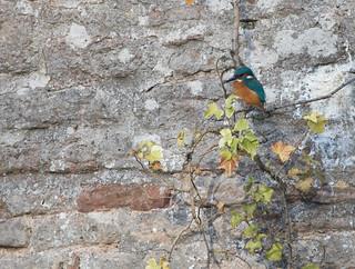 Kingfisher waiting to pounce