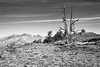 11,000 Feet Up, White Mountain Road, Inyo National Forest, California (paccode) Tags: solemn landscape altitude dirtroad serious quiet fall california monochrome flowersplants nationalforest sky creepy tree brush blackwhite mountain bishop unitedstates us