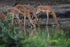 DSC_2151.jpg (Mike/Claire) Tags: impala 2016 southafrica tandatula timbavati