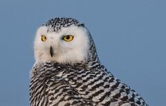 Snowy Owl (Nyctea scandiaca) (mesquakie8) Tags: bird owl sittingontopofacontainer juvenilefemale snowyowl nycteascandiaca snow coastguardcompound milwaukee milwaukeecounty wisconsin 5710