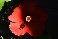 Entering the Light (maytag97) Tags: maytag97 hibiscus bloom blossom red stamen petal nikon d750 garden flower contrast dramatic bokeh shadow dof depth field black background outdoor sunlight