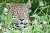 Male Leopard - Panthera pardus (rosebudl1959) Tags: 2017 botswana moremigamereserve maleleopard