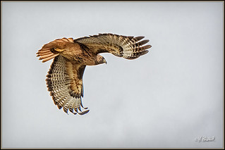 Red Tailed Hawk Nov27