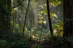 Muir Woods Clearing (Matt McLean) Tags: bayarea california forest ggnra marin muirwoods nationalmonument redwoods trees