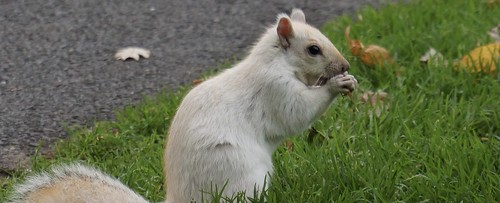 "Rare White Squirrel • <a style=""font-size:0.8em;"" href=""http://www.flickr.com/photos/52364684@N03/38090702212/"" target=""_blank"">View on Flickr</a>"