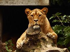 Trunk (m_artijn) Tags: lion artis trunk zoo nl bush shrub lowkey rest relax